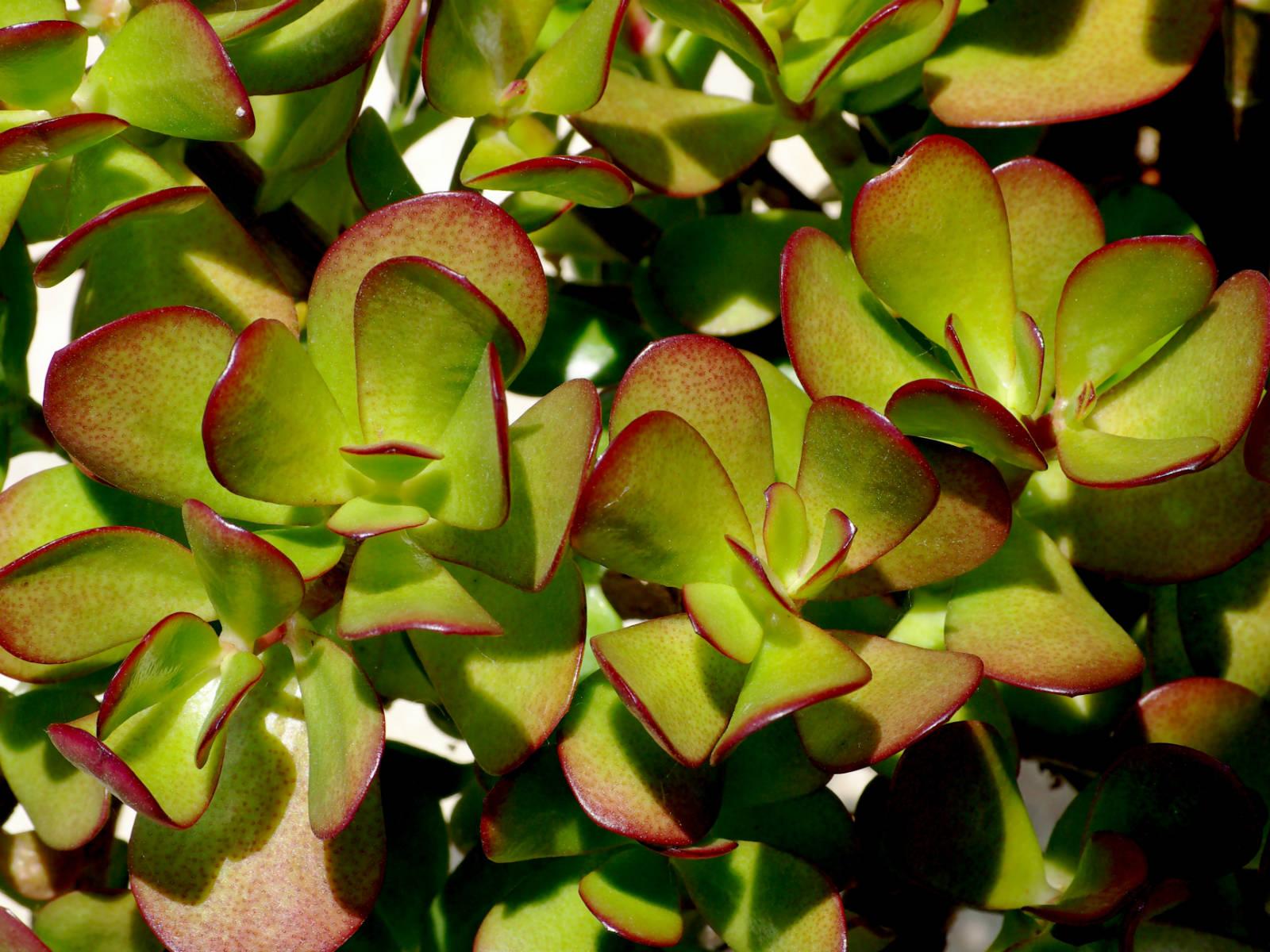 Planta-de-jade