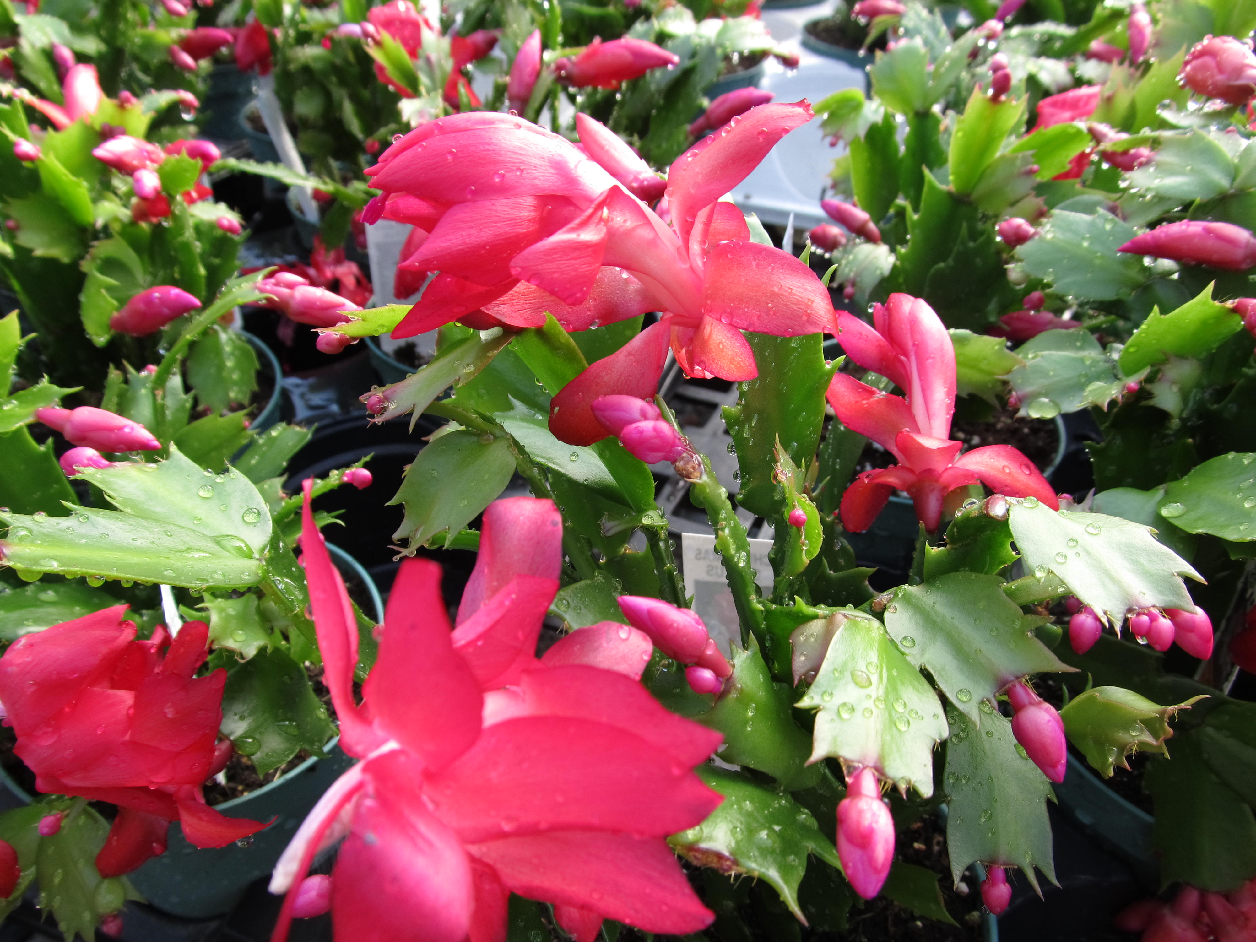are thanksgiving cactus poisonous