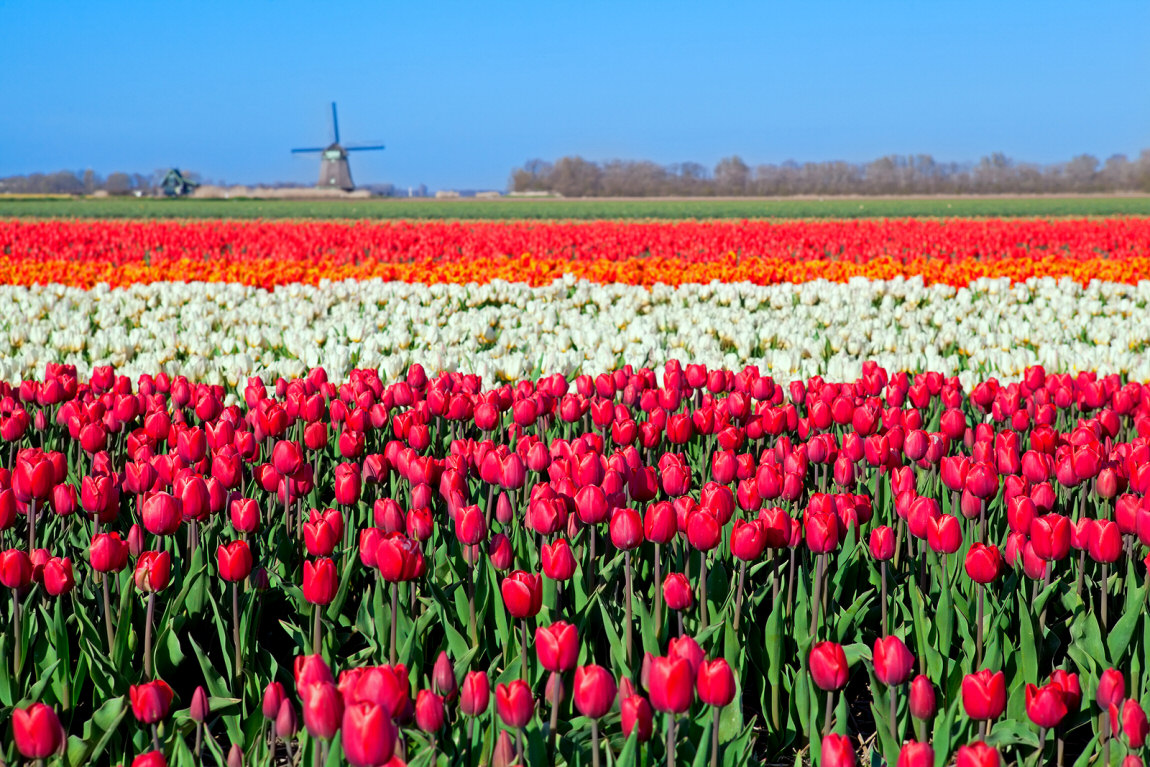 Holanda Tulipas
