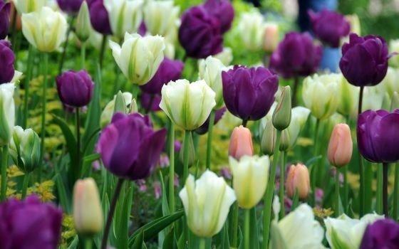 Variedades de Tulipa