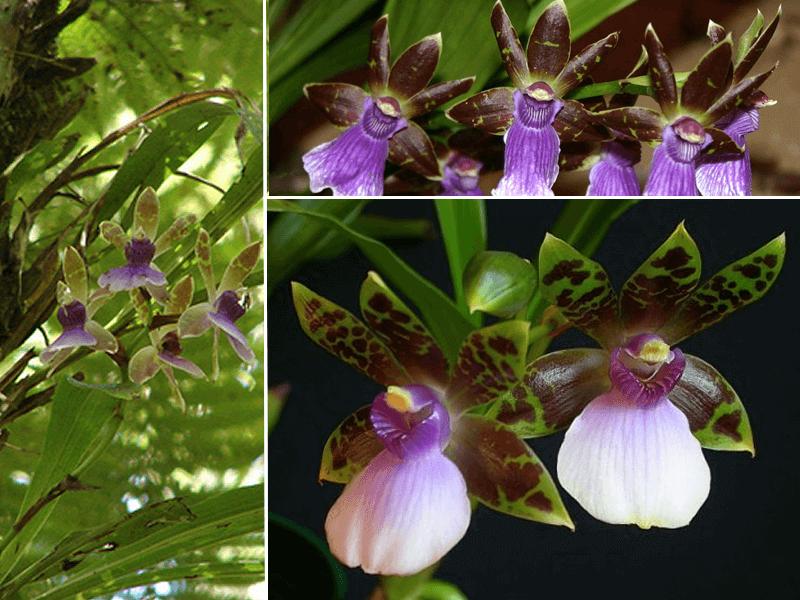 orquídea zygopetalum maxillare