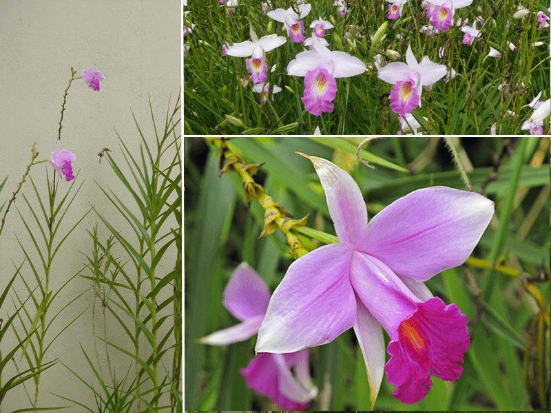 orquídea de bambu