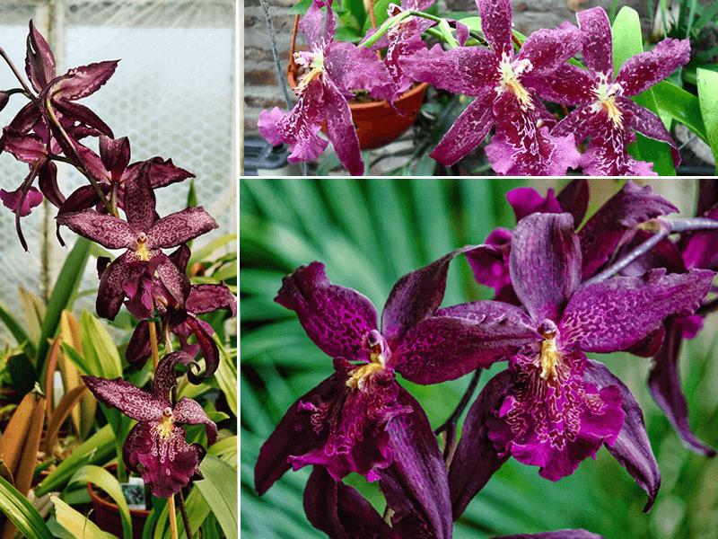 orquídeas beallara