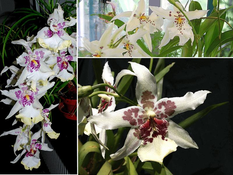 orquídea beallara tahoma glacier