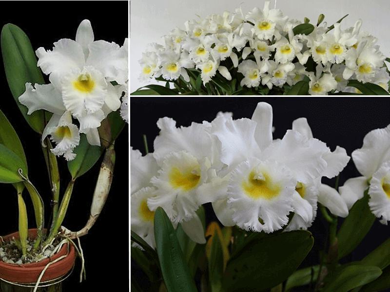 orquídea brassocattleya pastoral innocence