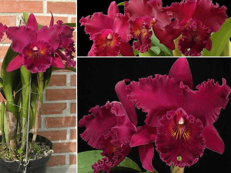 orquídea brassolaeliocattleya