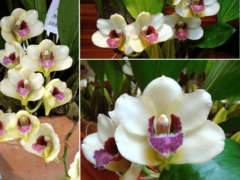 orquídea brifenaria harrissoniae