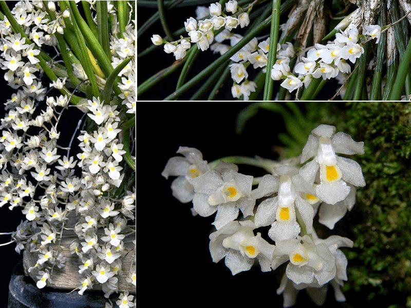 orquídeas capanemia