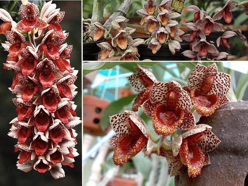 orquídeas catasetum