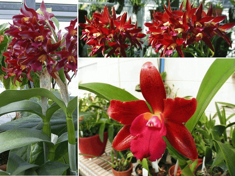 orquídea cattleya chocolate drop