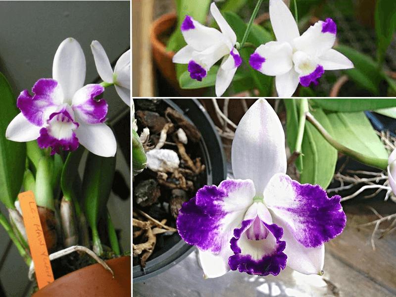 orquídea cattleya hay yuan angel