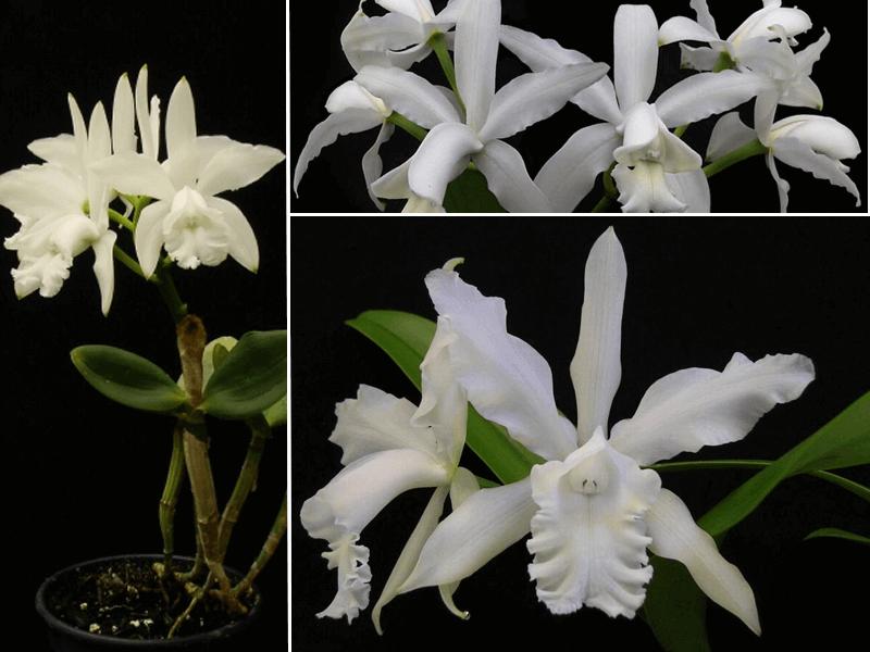 orquídea cattleya intermedia alba