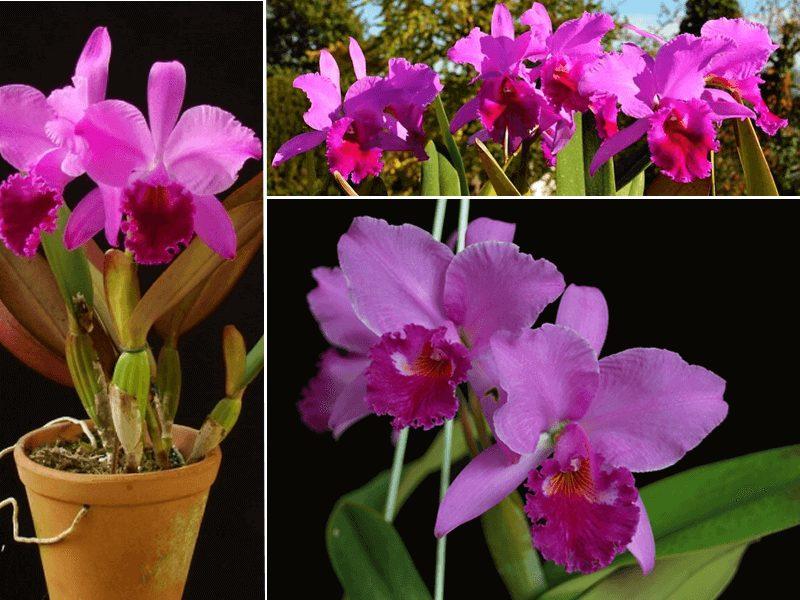 orquídea cattleya labiata
