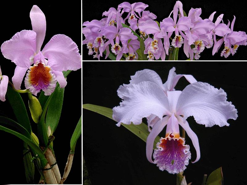 orquídea cattleya mossiae
