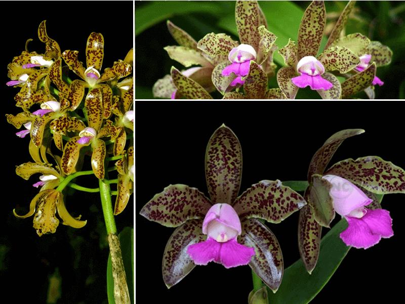 orquídea cattleya tigrina
