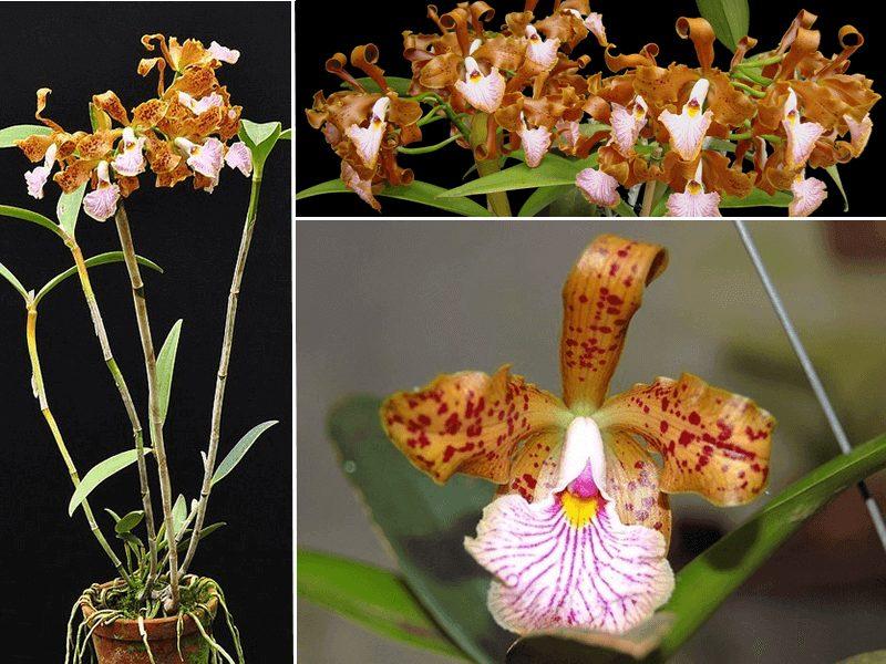 orquídea cattleya velutina