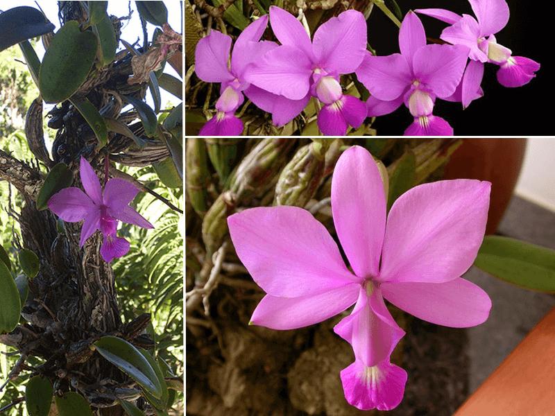 orquídea cattleya walkeriana