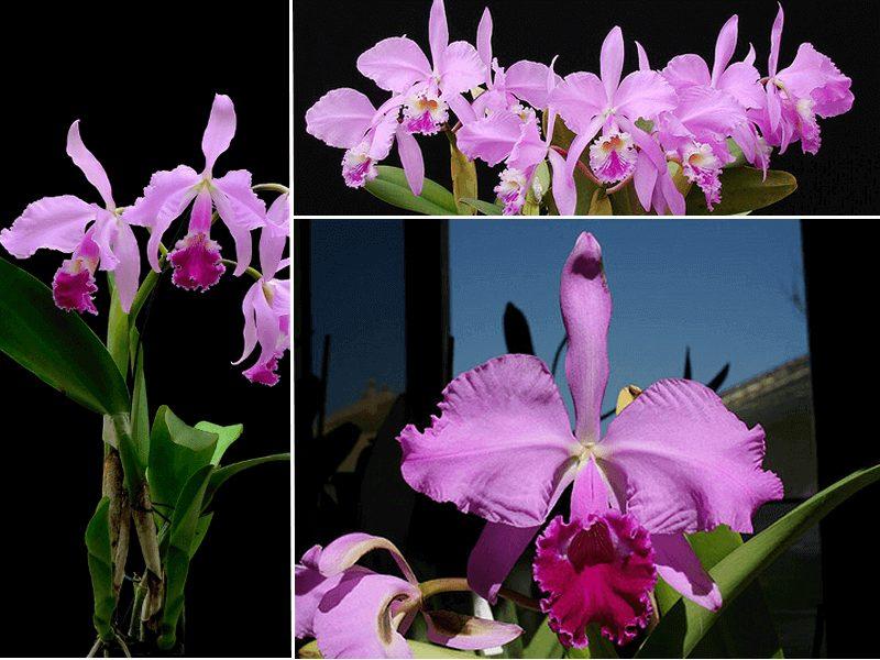 orquídea cattleya warneri