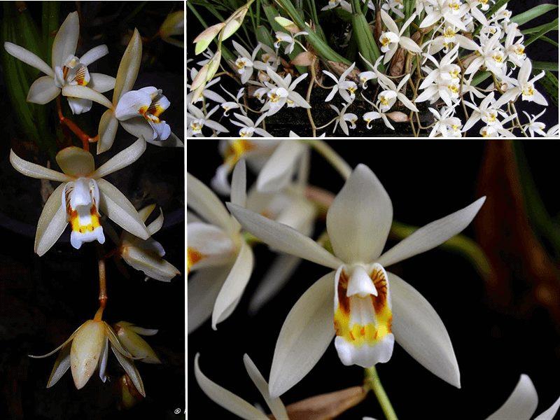 orquídea coelogyne flaccida