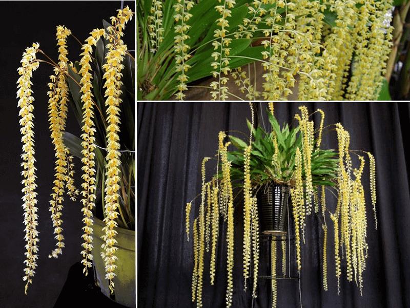 orquídea dendrobium cobbianum