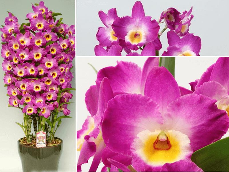 orquídea dendrobium new star