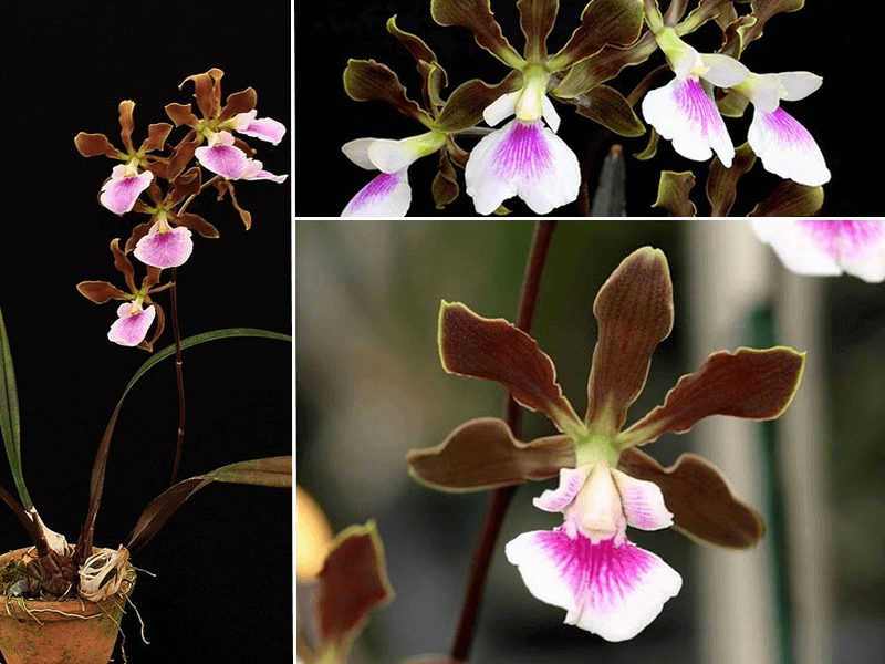 orquídea encyclia randii