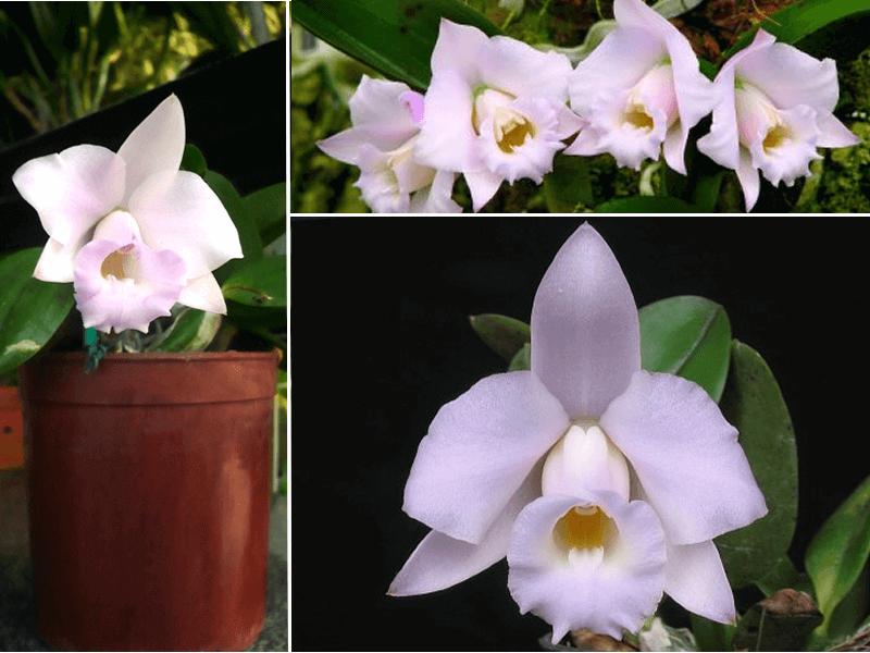 orquídea laelia alaorii