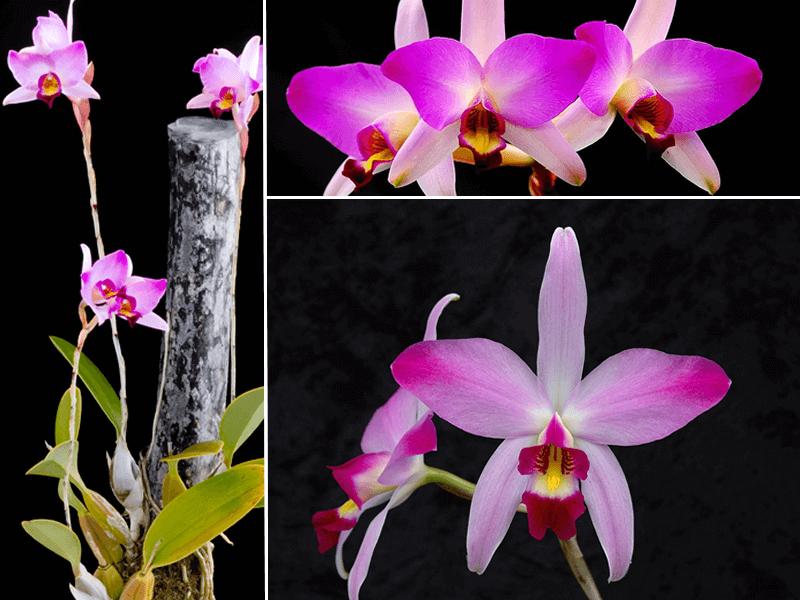 orquídea laelia anceps