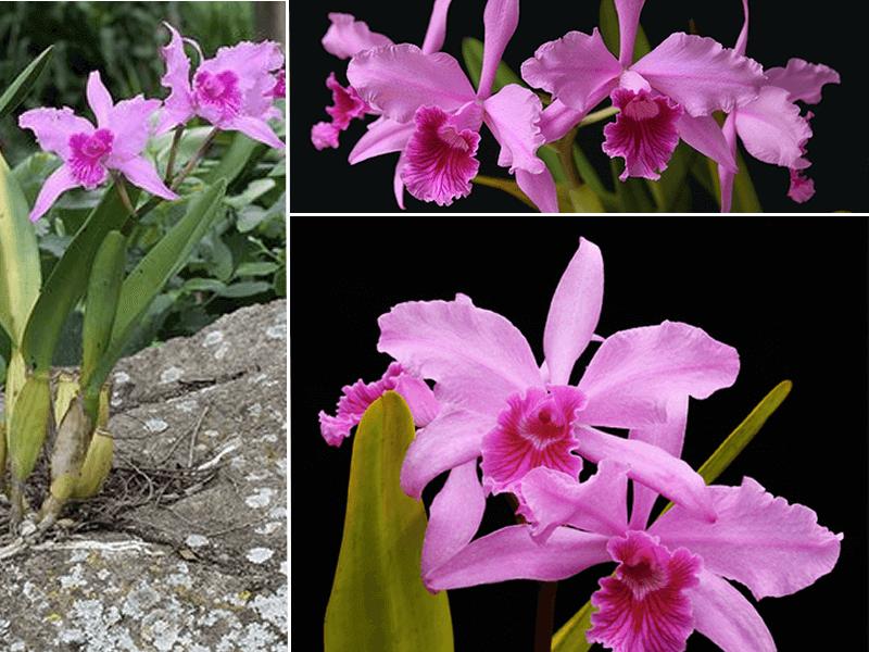 orquídea laelia lobata