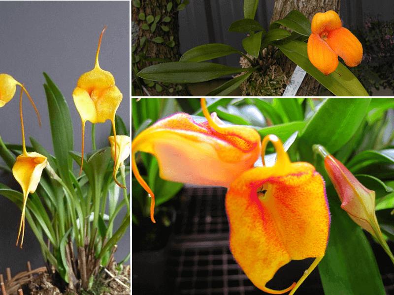 orquídea masdevallia angel frost