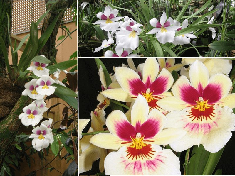 orquídea miltonia ceo apple