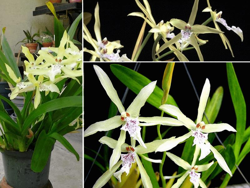 orquídea miltonia flavescens