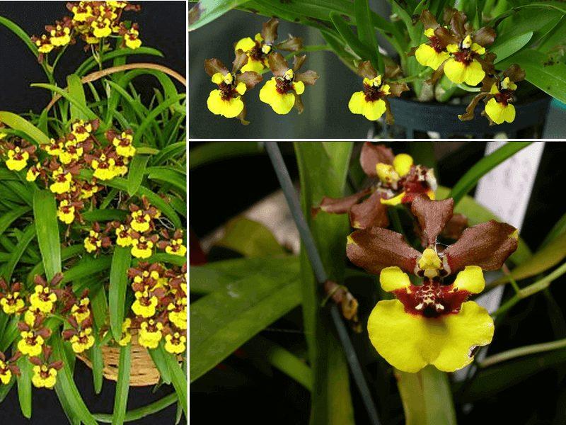 orquídea oncidium croesus