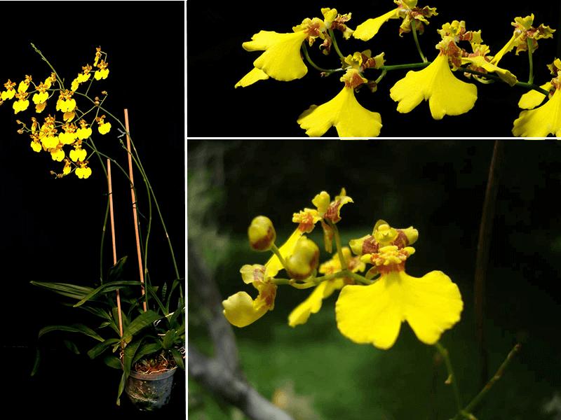 orquídea oncidium flexuosum