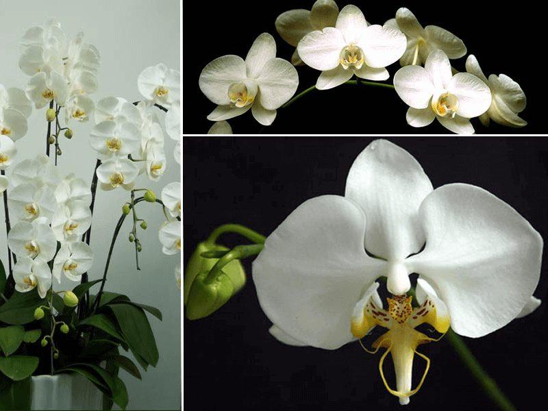 orquídea phalaenopsis amabiles