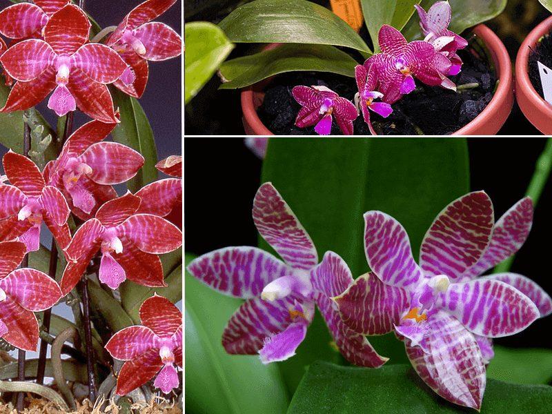 orquídea phalaenopsis lueddemanniana