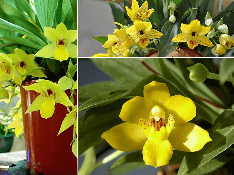 orquidea promenae xanthina