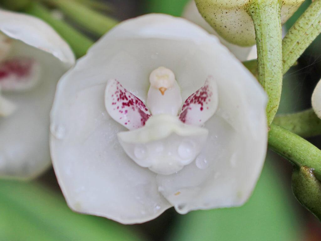 orquídea do espírito santo