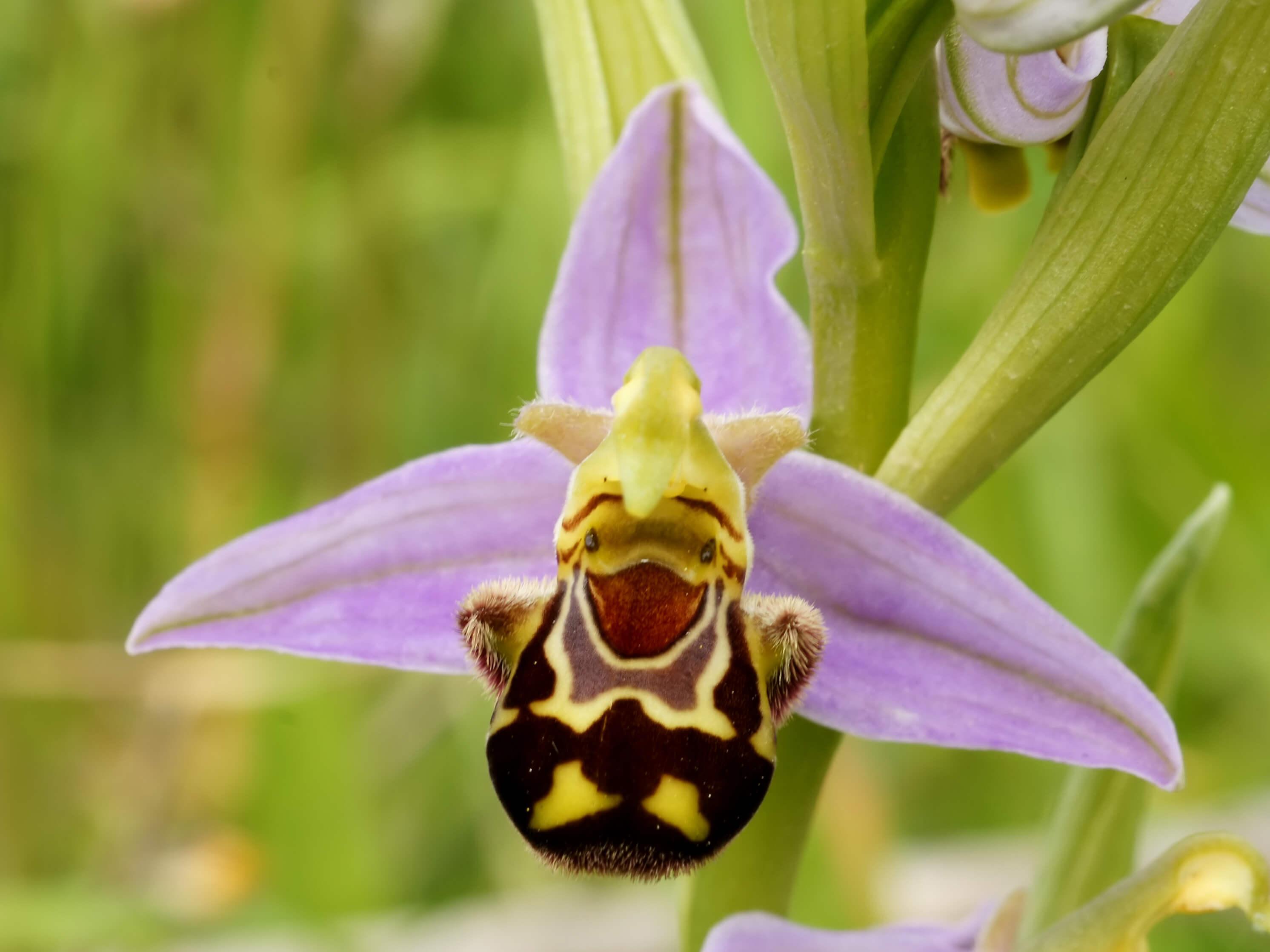 Orquídea Ophrys apifera