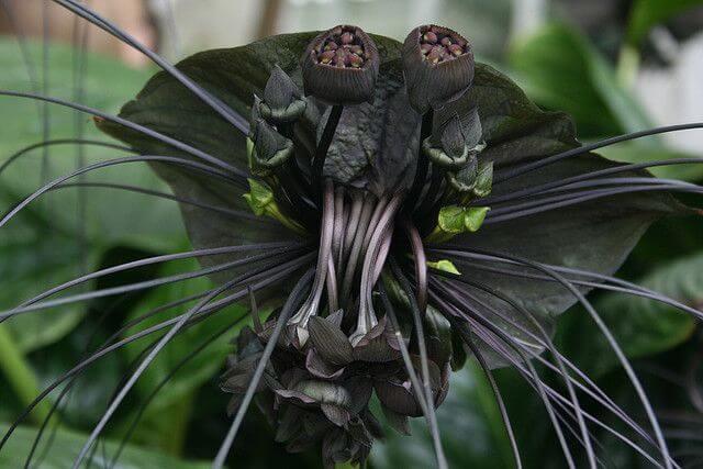 orquídea morcego
