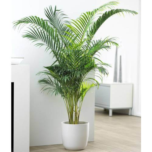 Plantas ornamentais esp cies para interiores arquidicas for Plantas decorativas para interiores